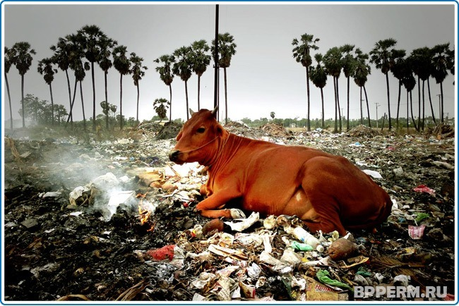 Корова — священное животное Индии